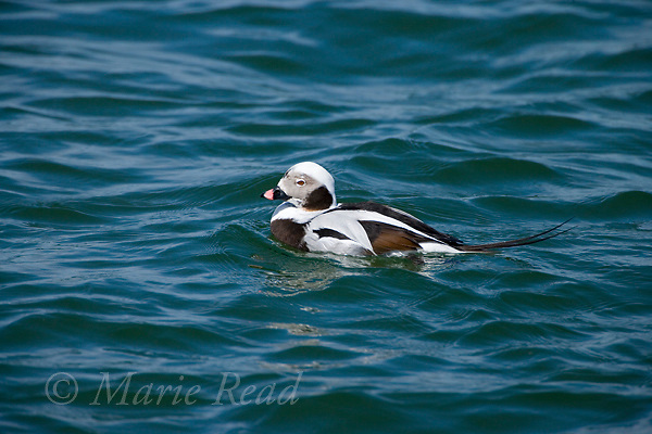 Long-tailed Duck (Clangula hyemalis), male in winter plumage, Barnegat Inlet, New Jersey, USA