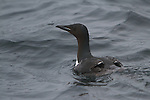 Thick-billed-Murre-Brunnich's-Guillemot-Uria-lomvia-guillemot de-Brunnich