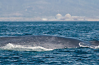 Blue whale, Balaenoptera musculus, west of the Southern California Edison San Onofre power plant, Orange County, California