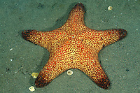 Anthenea conjunges, Kissen-Seestern am Meeresgrund, Oreasteridae, Cushion starfish on the seaflor, Desa Umeanyar, Purijati, Desa Umeanya, Bali, Indonesien, Indopazifik, Asien,  Indonesia, Indo-Pacific Ocean, Asia