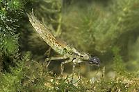 Southern Hawker - Aeshna cyanea<br /> larva eating tadpole