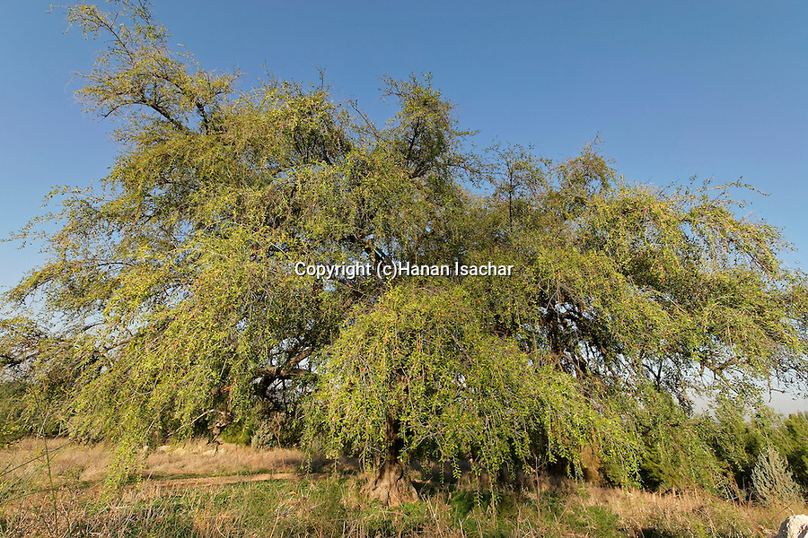 Israel, the Shephelah. Jujube tree in Tel Hadid