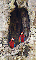 A pair of macaws hangs out in their nest hole in Carara National Park.