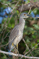 Bare-throated Tiger Heron Juvenile at Cuero Y Salado in Honduras
