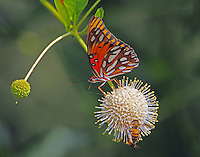 Gulf fritillary and bees on buttonbush