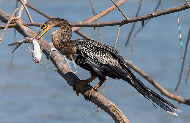 We watched this anhinga work on trying to swallow its catch for several minutes.