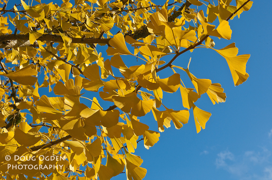 Ginko leaves against a blue sky