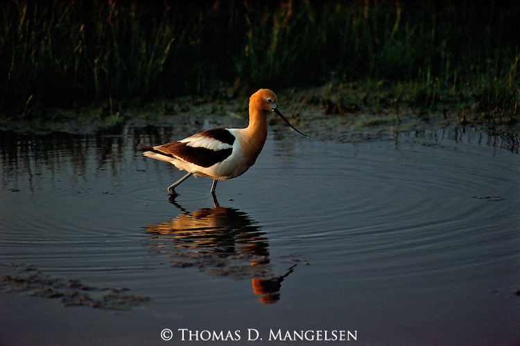 An Avocet walks through the shallow water in Idaho.