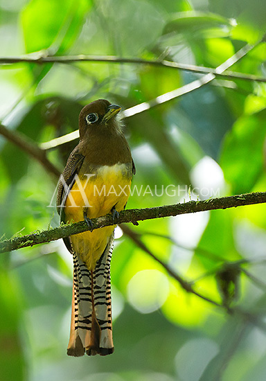 A female black-throated trogon is brown up top, slightly less attractive than the males.