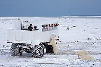 01874-11202 Polar bears (Ursus maritimus) near Tundra Buggy, Churchill, MB