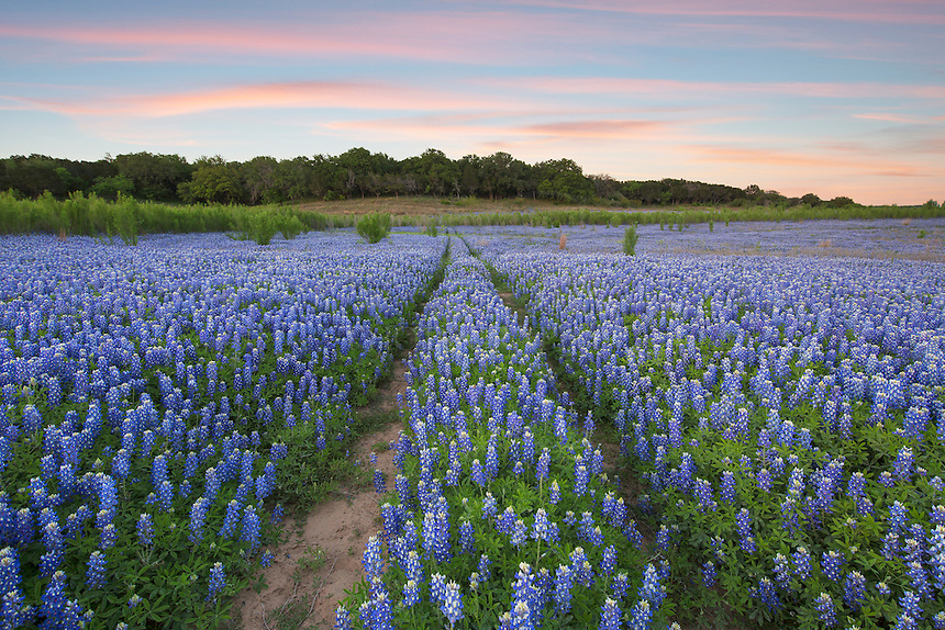 While usually underwater, drought brough out the best in the particular stretch of the Colorado River and Lake Travis. The sandy, fertile soil bloomed into its own sort of blue lake in the spring of 2015 with this field of bluebonnets. El Nino took over late in the year and the area is once again underwater.