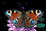 Peacock Butterfly, Inachis io, adult wings open showing eye spots.United Kingdom....