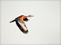 Black-Bellied Whistling Duck in-flight, wings are in downstroke