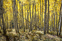 A dense forest of Aspen trees in the San Juan Mountains of Colorado.