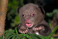 609659115 portrait of a captive three-week old wildlife rescue american black bear cub ursus americanus native to north america