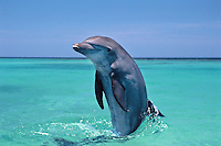 Common Bottlenose Dolphin or Bottle-nosed Dolphin (Tursiops truncatus) in Pacific Ocean off Honduras.