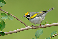Golden-winged Warbler - Vermivora chrysoptera - male