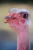 562703012 portrait of an ostrich struthio camelus - animal is a captive zoo animal