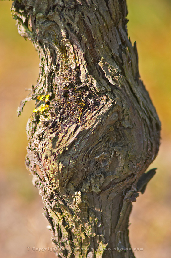 A close-up of the bark on a merlot vine  Chateau Paloumey Haut-Medoc Ludon  Medoc  Bordeaux Gironde Aquitaine France