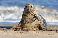 Grey Seal - Halichoerus grypus - female.  Length 2.2-3.2m Bulky seal with proportionately large head. Inquisitive in water. Hauls out for long periods. Adult is greyish overall with dark blotchy spots; fewer, larger spots than on Common Seal. Males are larger and darker than females. In profile, looks 'Roman nosed': bridge of nose is convex, more pronounced in males than females. From the front, nostrils are distinctly separated and more or less parallel to one another, not V-shaped. Fore flippers have sharp claws and hind flippers propel the animal through water. Pup is born with white fur; moulted after a few weeks.Voice Utters low, moaning calls. Often found on rocky shores and tolerates rough seas heavy waves. Widespread on west coast of Britain and locally in North Sea.