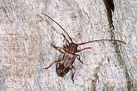 Wimpernhornbock, Bockkäfer, Exocentrus lusitanus, Longhorn beetle