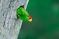 567780006 a wild red-crowned parrot amazonia viridigenalis perches at the entrance to its cavity nest in a large tree on a private ranch in tamaulipas state mexico