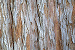 Close-up view of Coastal Redwood tree bark at the Santa Barbara Botanic Garden, Santa Barbara, California, USA