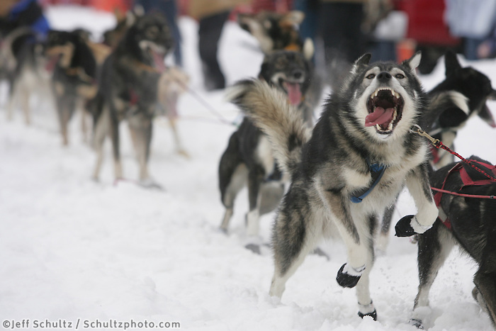 Lance Mackey dogs lunge to go at the Willow Restart.  2005 Iditarod Sled Dog Race