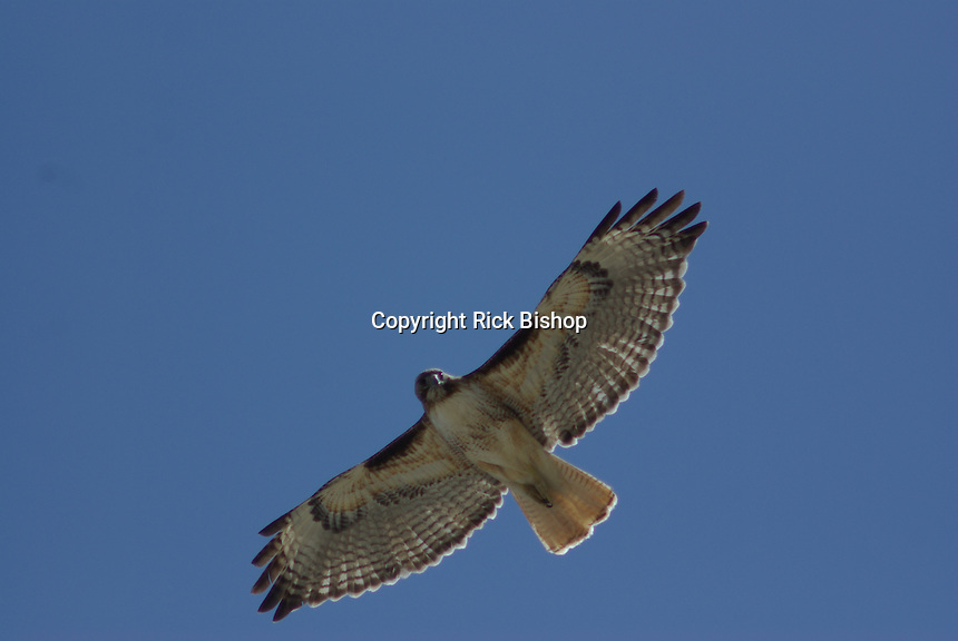 Red-tailed Hawk (Buteo jamaicensis) in flight over southern Arizona.
