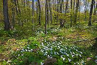 Great white trilliums (Trillium grandiflorum) in hardwood forest<br /> Bruce Peninsula National Park<br /> Ontario<br /> Canada