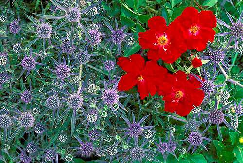 "Garden with red, Rose ""red Ribbons"" and Eryigium, summer thistle, together,"