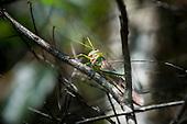Xingu River, Para State, Brazil. A cricket.