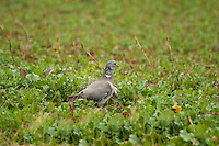 Pigeon in a crop of growing oilseed rape, Shropshire.