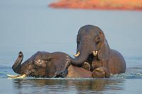 Young African Elephant bulls (Loxodonta africana) engaging in dominance behavior as part of water play. Lake Kariba, Matusadona National Park, Zimbabwe.