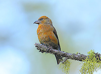 Red crossbill male perched on a moss-laden snag displaying a transition plumage from gold to red.<br /> Sleeping Lady Resort, Leavenworth, Washington<br /> 6/7/2010