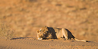 Lioness sleeping on red sand dune