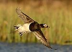 Subarctic Birdlife Iceland