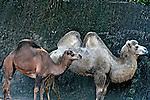 Animais. Mamiferos. Dromedario (Camelus dromedarius) e Camelo ( Camelus bactrianus). Zoologico. SP. Foto de Juca Martins.