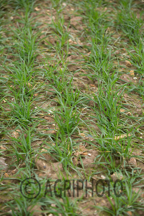 Winter Wheat plants<br /> Picture Tim Scrivener 07850 303986 <br /> scrivphoto@btinternet.com<br /> &hellip;.covering agriculture in the UK&hellip;.