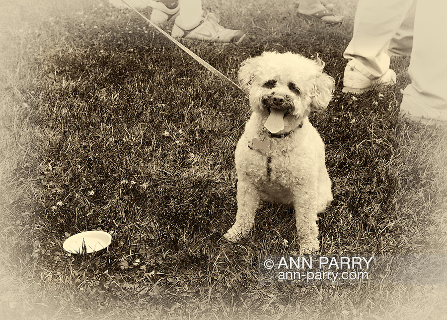 Cute yorkie-poo dog on leash with bowl of water on grass nearby that owner brought when walking dog, so safe and happy outside in hot summer weather. Vintage sepia with vignette edges treatment. Taken during Miss Wantagh Pageant 2011.