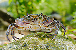 A Freshwater Crab (Potamon fluviatile), Europe