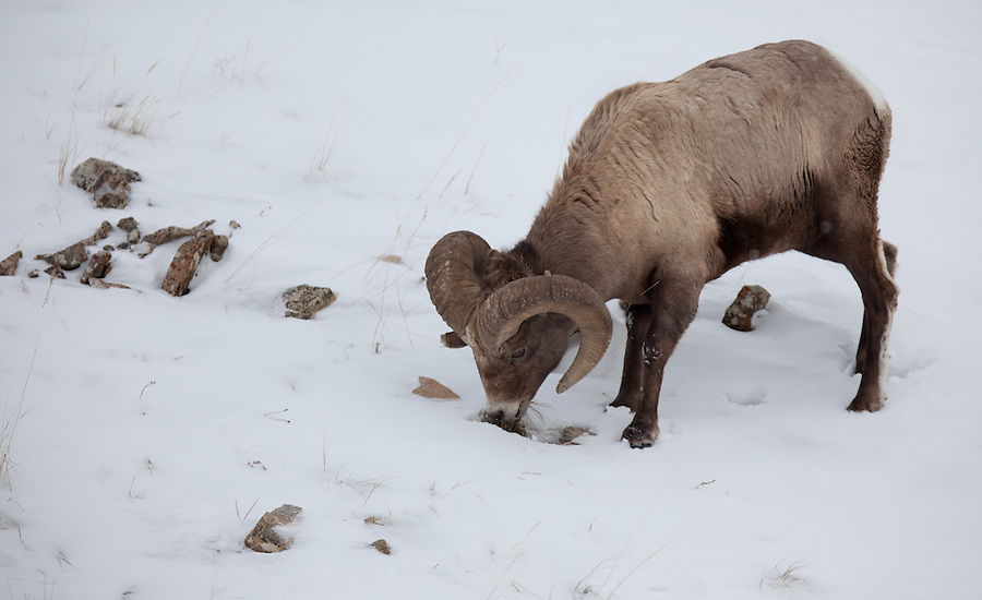 A ram paws at the snow to find tasty grasses during winter in Yellowstone National Park.