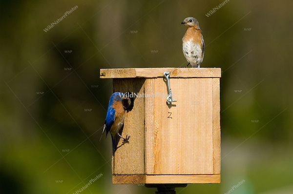 Eastern Bluebirds, Sialia sialis, at a Bluebird box