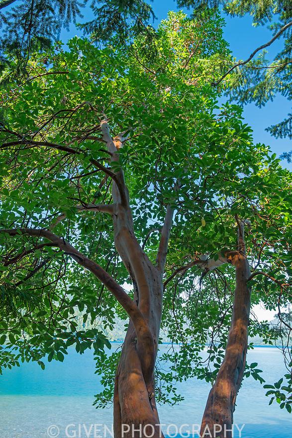 Madrona tree on shore of Lake Crescent, Olympic National Park, Washington
