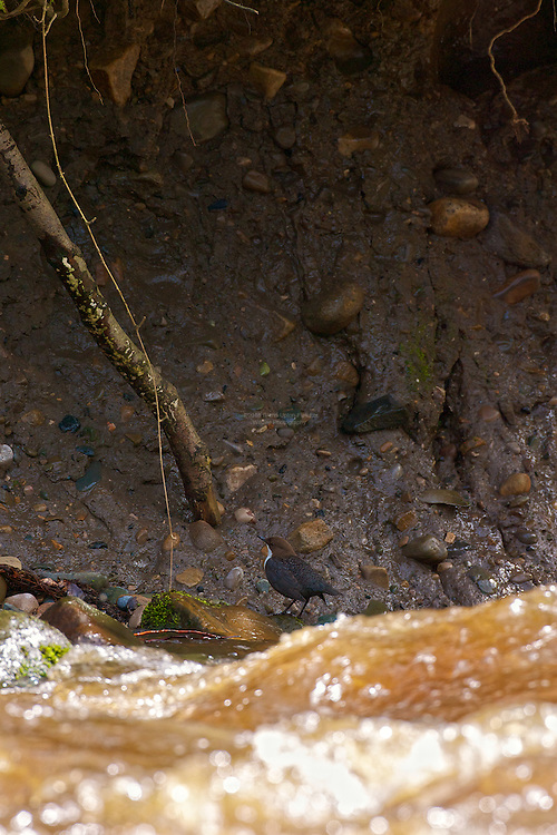 White-throated Dipper (Cinclus cinclus) Looking up towards nest, with rising floodwater. Dippers have a remarkable way to catch food in a niche area. They are able to dive under water readily at will and walk along the bottom in search of caddis fly larva and other food.