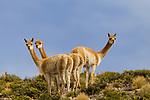Vicuna (Vicugna vicugna) females, Abra Granada, Andes, northwestern Argentina