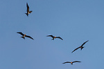 San Benedicto Island, Revillagigedos Islands, Mexico; five frigatebirds circling overhead in the early morning light