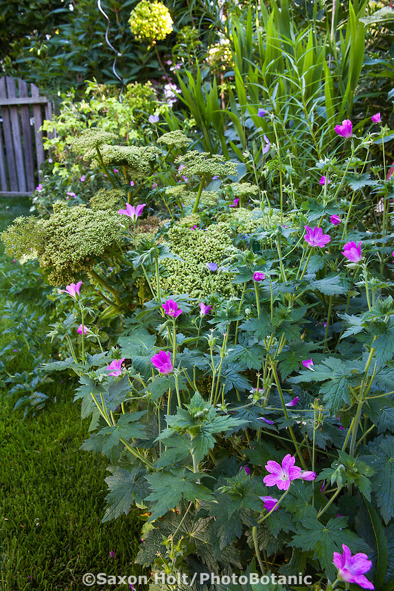 Mixed perennial border with Geranium x oxonianum 'Konigshof', Robin Parer Garden