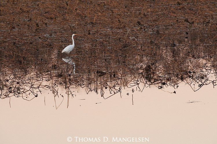 Great Egret wades in the rushes along the Mississippi River.