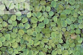 Water Spangles, aquatic fern ,Salvinia minima ,